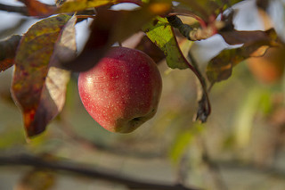 Apple by Elena Savelyeva