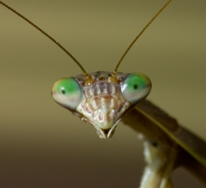 Face_of_Praying_Mantis